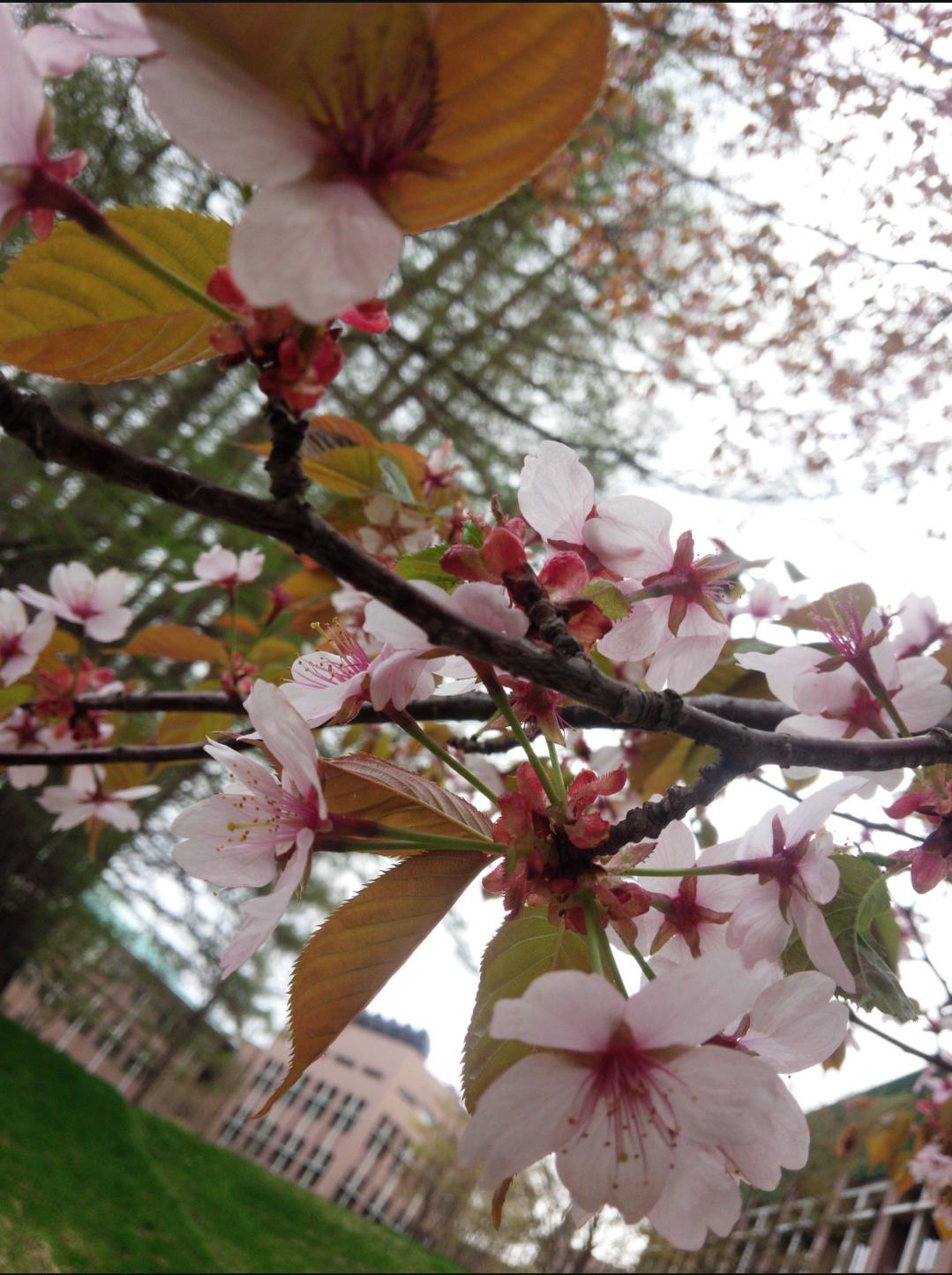 桜越しの県大.png